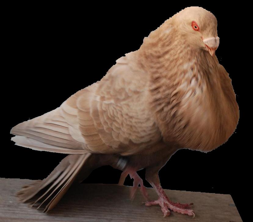 Zier Tauben